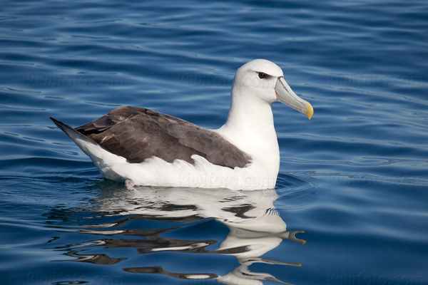 White-capped Albatross Picture @ Kiwifoto.com