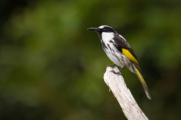 White-cheeked Honeyeater Picture @ Kiwifoto.com