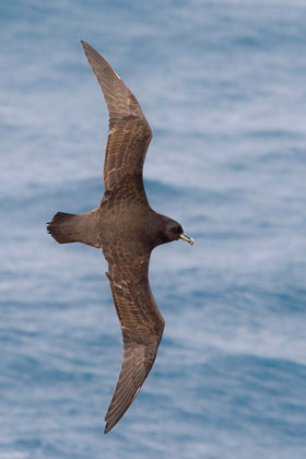 White-chinned Petrel Picture @ Kiwifoto.com
