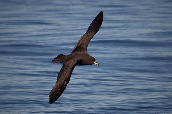 White-chinned Petrel Photo @ Kiwifoto.com