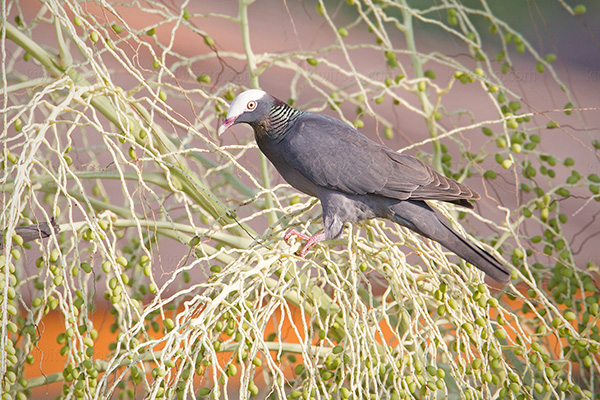 White-crowned-pigeon Photo @ Kiwifoto.com