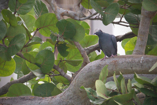 White-crowned-pigeon Picture @ Kiwifoto.com