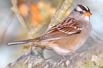 White-crowned Sparrow Photo @ Kiwifoto.com