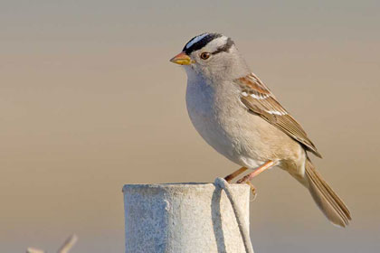 White-crowned Sparrow (Z.l. gambelii)