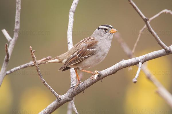 White-crowned Sparrow @ UCR Botanical Gardens, Riverside, CA