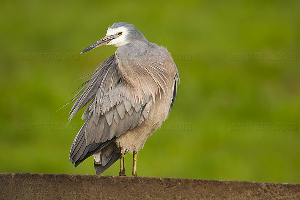 White-faced Heron Photo @ Kiwifoto.com