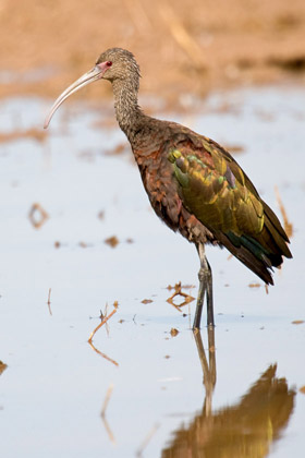 White-faced Ibis Image @ Kiwifoto.com