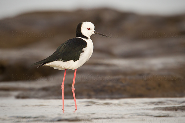 White-headed Stilt Picture @ Kiwifoto.com