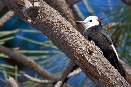 White-headed Woodpecker Photo @ Kiwifoto.com