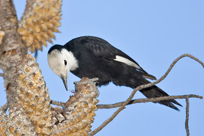 White-headed Woodpecker Picture @ Kiwifoto.com