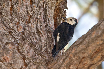 White-headed Woodpecker Image @ Kiwifoto.com