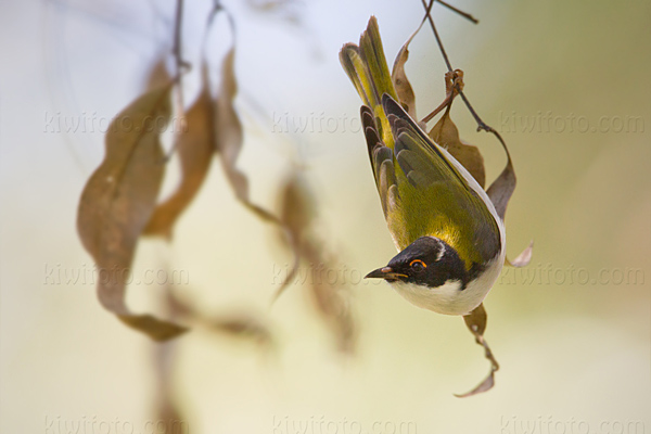 White-naped Honeyeater Photo @ Kiwifoto.com