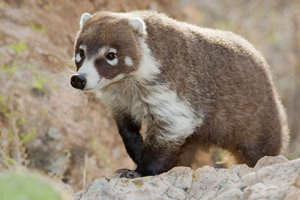 White-nosed Coatimundi Picture @ Kiwifoto.com