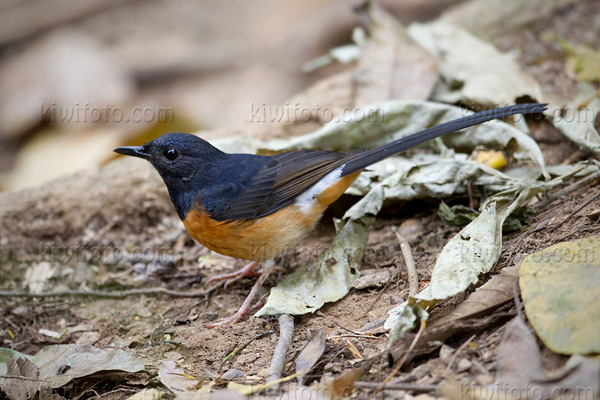 White-rumped Shama Photo @ Kiwifoto.com