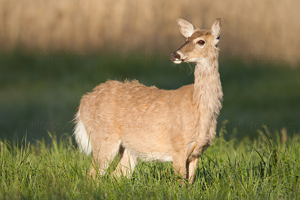 White-tailed Deer Photo @ Kiwifoto.com