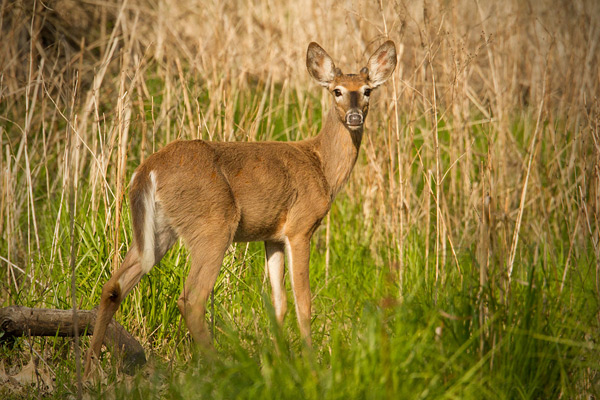 White-tailed Deer Picture @ Kiwifoto.com