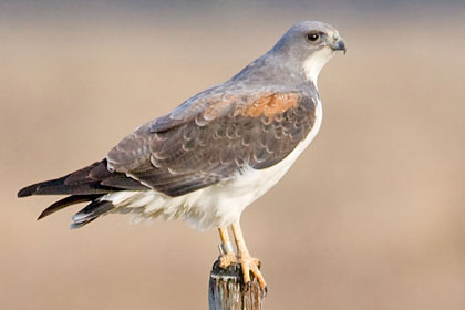 White-tailed Hawk Picture @ Kiwifoto.com