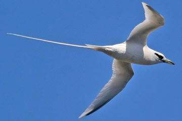 White-tailed Tropicbird Image