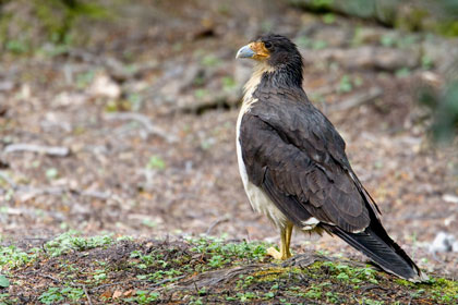 White-throated Caracara Image @ Kiwifoto.com