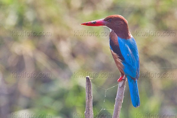 White-throated Kingfisher Image @ Kiwifoto.com