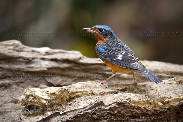 White-throated Rock-Thrush Image @ Kiwifoto.com