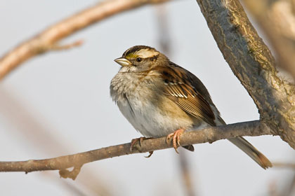 White-throated Sparrow Image
