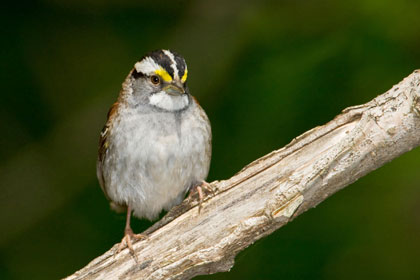 White-throated Sparrow Picture