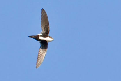 White-throated Swift Picture @ Kiwifoto.com