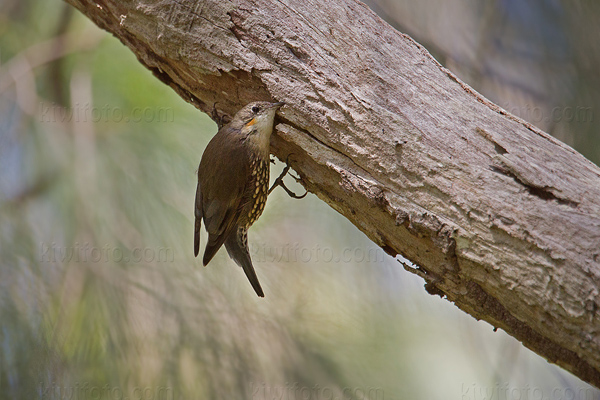 White-throated Treecreeper Picture @ Kiwifoto.com