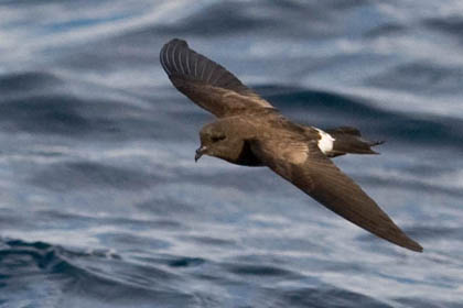 White-vented Storm-Petrel Image