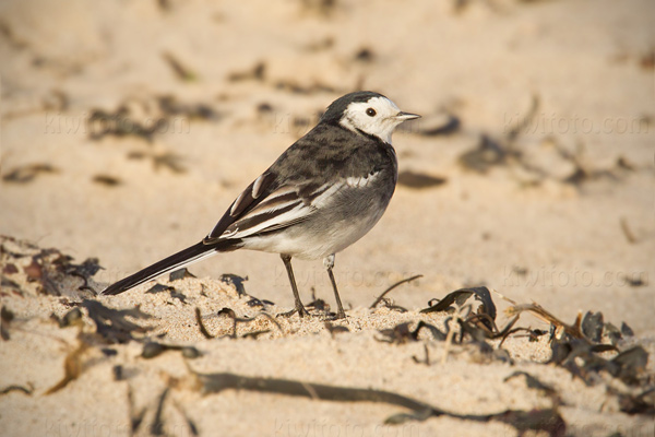 White Wagtail (M.a. yarrellii)