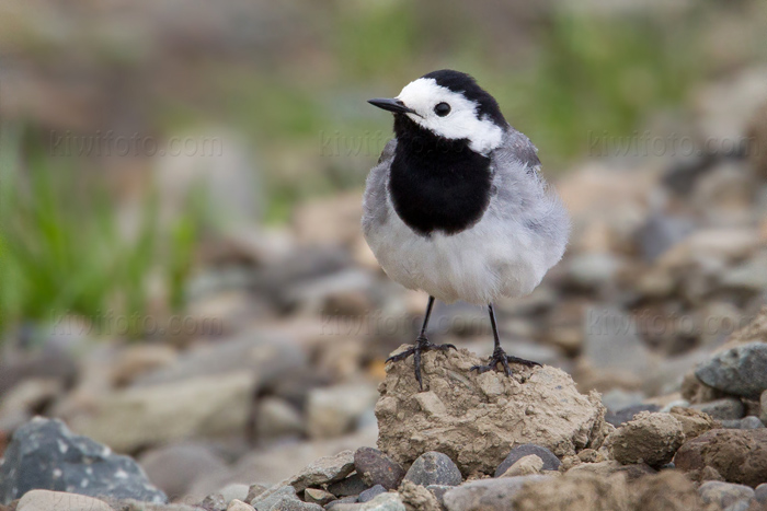 White Wagtail Picture @ Kiwifoto.com