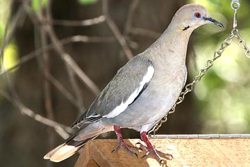 White-winged Dove Picture @ Kiwifoto.com