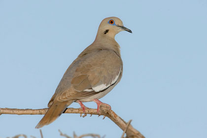 White-winged Dove Image @ Kiwifoto.com