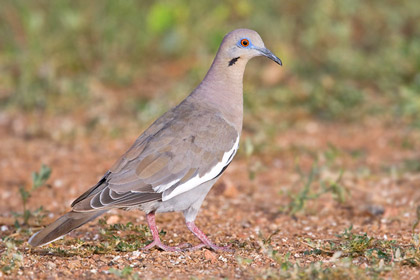 White-winged Dove Photo @ Kiwifoto.com