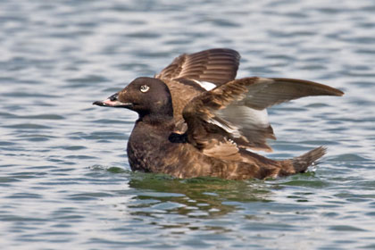 White-winged Scoter Image @ Kiwifoto.com