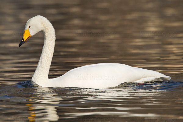 Whooper Swan Picture @ Kiwifoto.com