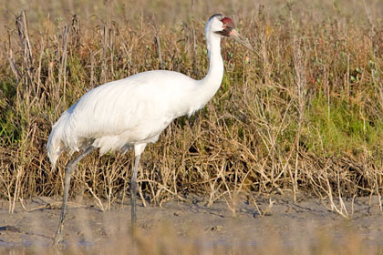 Whooping Crane Picture @ Kiwifoto.com