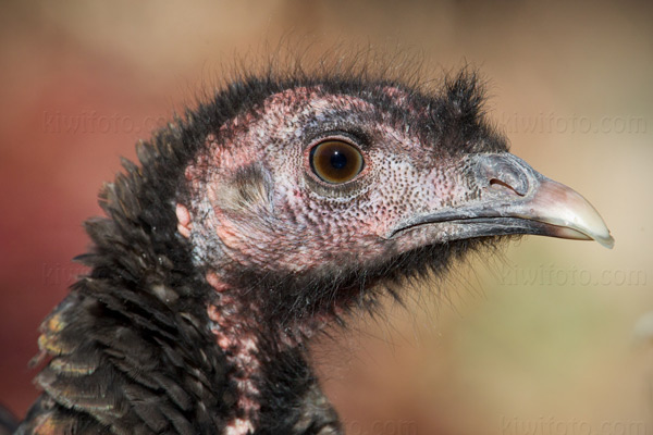 Wild Turkey Picture @ Kiwifoto.com
