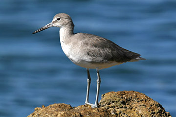 Willet Photo @ Kiwifoto.com
