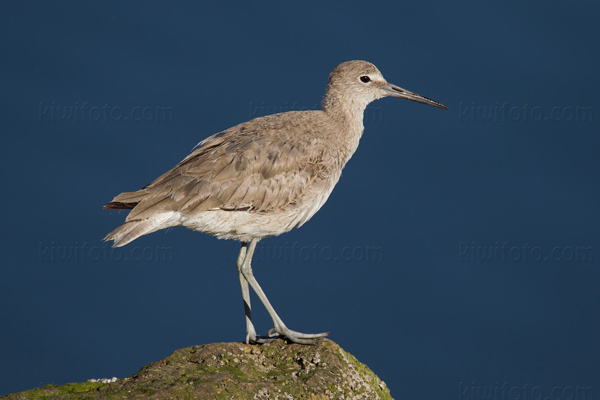 Willet Picture @ Kiwifoto.com