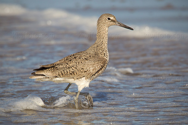 Willet @ Playa del Rey (Dockweiler State Beach), CA