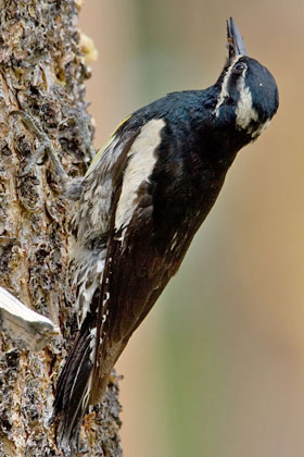 Williamson's Sapsucker (Male)