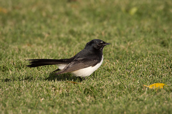 Willie-wagtail Picture @ Kiwifoto.com