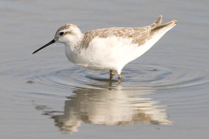 Wilson's Phalarope Photo