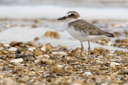 Wilson's Plover Picture