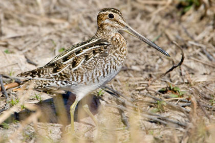 Wilson's Snipe Photo @ Kiwifoto.com