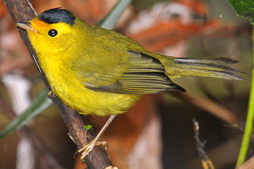 Wilson's Warbler Photo @ Kiwifoto.com