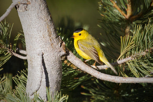 Wilson's Warbler @ Tahoe Meadows, Lake Tahoe, NV