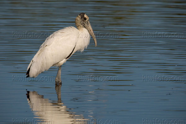 Wood Stork Photo @ Kiwifoto.com